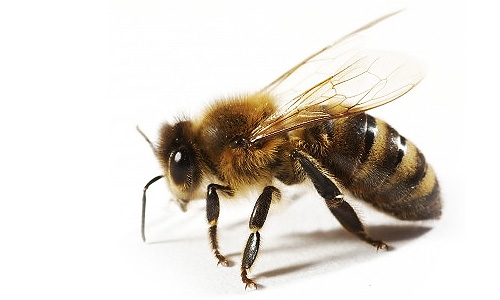live-bee-removal