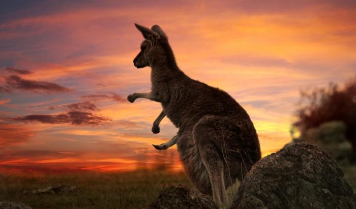 kangaroo-1.jpg